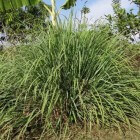 Citroengras, lekker, veelzijdig en gezond