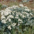 Zilte zeekool, onbekende groente en vaste plant