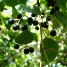 Maqui poeder: product van superfruit rijk aan antioxidanten