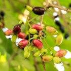 Onbekende vrucht: Jambolan