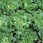 Andijvie: Voordelen voor gezondheid van deze bladgroente