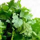 Koriander: Voordelen voor gezondheid van dit kruid