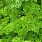 Krulpeterselie: Voordelen voor gezondheid van dit kruid