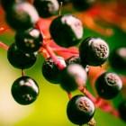 Vlierbessen: gezondheidsvoordelen & voedingsstoffen vlierbes