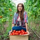 Tomaten: gezondheidsvoordelen en voedingswaarde tomaat
