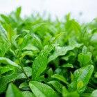 Groene Thee - Gezond Antioxidant