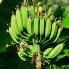De banaan, tropisch gezond lekker fruit