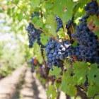Polyfenol: antioxidant en bioactieve stof