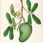 Tropische vruchten wondermiddelen?