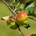 10 geneeskrachtige kanten van de appel