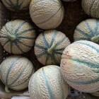 Cantaloupe, de lekkerste meloensoort