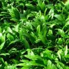 De geneeskracht van spinazie