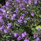 Estragol, basilicum en pesto