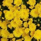De geneeskracht van chrysanthellum