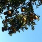 De geneeskracht van de bittere oranje-appelboom
