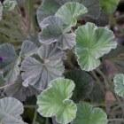De geneeskracht van Pelargonium Sidoides