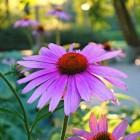 Afweersysteem verhogen met Echinacea purpurea