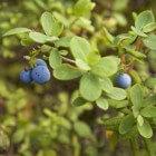 De geneeskracht van blauwe bosbesblad