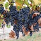 De geneeskracht van wijnstok