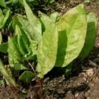 Veldzuring, een wilde groente met geneeskracht