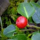 De geneeskracht van bergthee of wintergroen