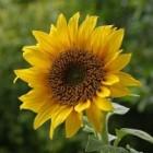 Zonnebloempitten als medicijn in de fytotherapie