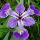 De geneeskracht van Amerikaanse blauwe iris