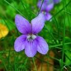 Maarts viooltje als fytotherapeutisch medicijn