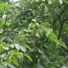 De helende werking van de walnotenboom