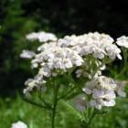 De geneeskracht van duizendblad (Achillea millefolium)