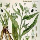 Smeerwortel voor de huid en beenderstelsel