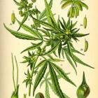 CBD, een medicinale stof met een breed spectrum