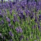 Lavendel: mooi, geurend en geneeskrachtig
