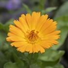 Goudsbloem (calendula): gezondsheidsvoordelen & toepassingen