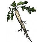 Mierikswortel: gezondheidsvoordelen, toepassing en effect