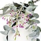 Eucalyptus: gezondheidsvoordelen, toepassingen, bijwerkingen