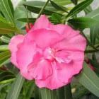 Oleander: gezondheidsvoordelen, toepassingen en giftigheid