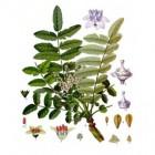 Boswellia: gezondheidsvoordelen, soorten en werkzame stoffen