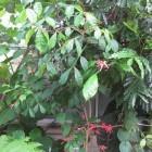 Bitterhout (kwasibita): gezondheidsvoordelen en werking