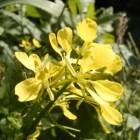 Herik: gezondheidsvoordelen en herik in de tuin en keuken