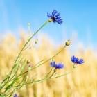 Korenbloem: gezondheidsvoordelen & inhoudsstoffen korenbloem