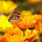 De goudsbloem: helpt bij wondjes
