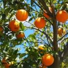 Etherische olie: zoete sinaasappel