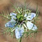 De zwarte komijn olie / zwart zaad, een natuurlijke remedie