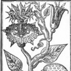Passiflora tegen slapeloosheid
