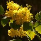 Mahonia botanisch maar ook medisch