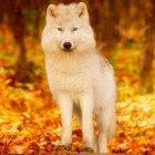 De sociale wolf als krachtdier en gids