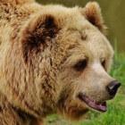 De beer als krachtdier ontmoeten