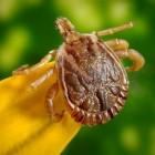 Teken(beet) en de ziekte van Lyme