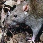 De rattenbeetziekte door knaagdieren